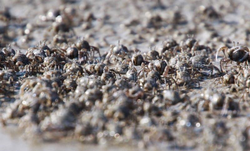 Tusentals mycket små sandbubblerkrabbor flockas från stranden in i vatten på den tropiska ön Ko Lanta fotografering för bildbyråer