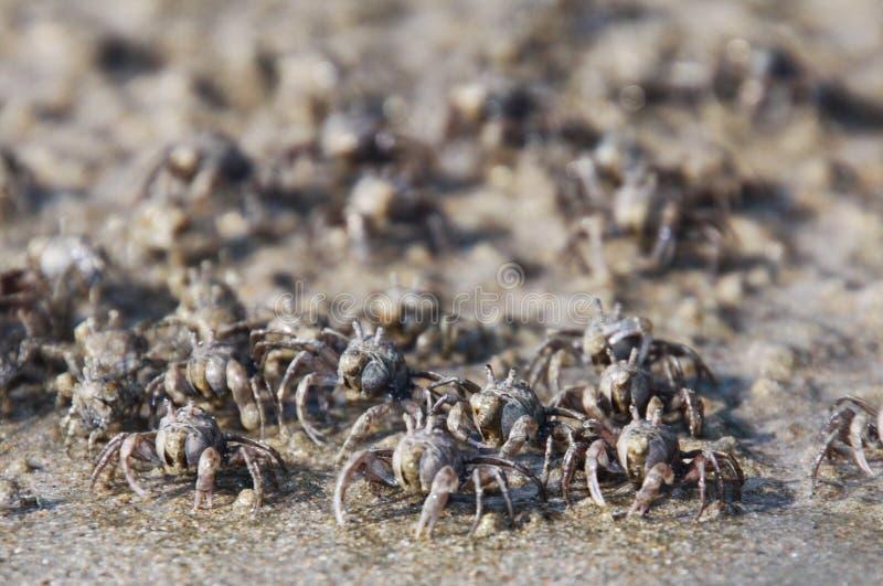 Tusentals mycket små sandbubblerkrabbor flockas från stranden in i vatten på den tropiska ön Ko Lanta arkivbilder