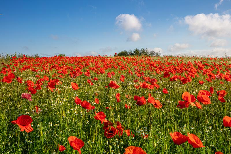 tusentals röda vallmo som står på en äng, solen, skiner, och det finns vita moln i den blåa himlen royaltyfria bilder
