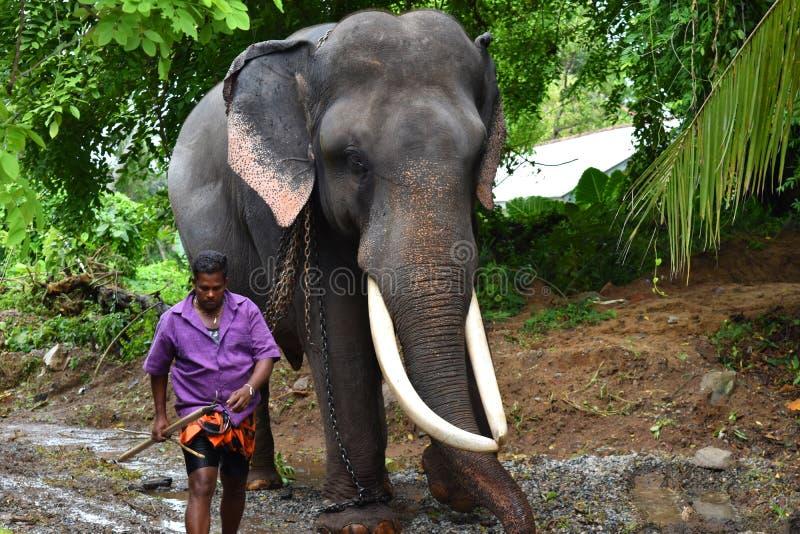 Tusker met zijn mahout stock afbeelding