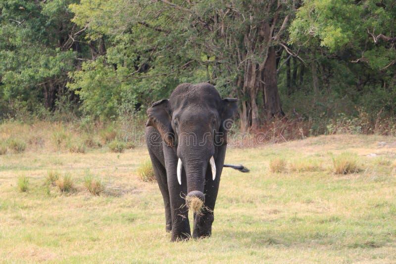 Tusker sauvage chez Habarana, Sri Lanka photos libres de droits