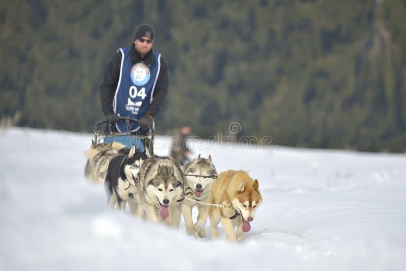 TUSNAD, ΡΟΥΜΑΝΊΑ - 2 Φεβρουαρίου: πορτρέτο των σκυλιών που συμμετέχουν στο διαγωνισμό αγώνα ελκήθρων σκυλιών στις 2 Φεβρουαρίου 2 στοκ φωτογραφίες με δικαίωμα ελεύθερης χρήσης