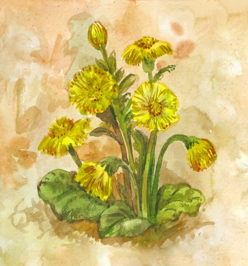 Tussilago da aquarela Erva de florescência da mola amarela Planta medicinal ilustração royalty free