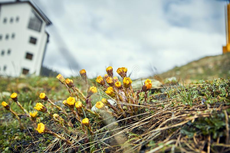 Tussilago farfara - the first flowers coltsfoot of the early spring royalty free stock photo