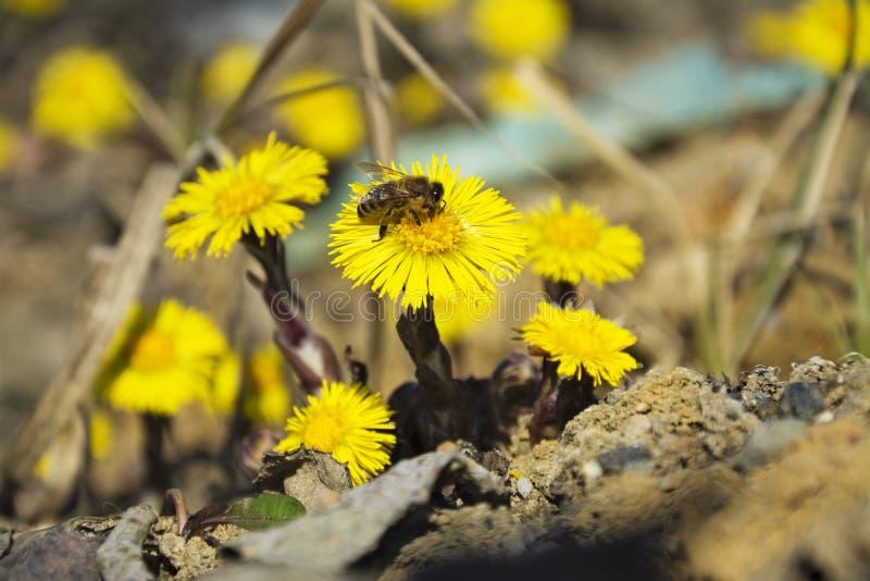 Tussilagot den första vårgulingen blommar och biet royaltyfria bilder