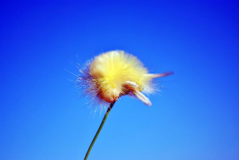 Tussock pudibunda Calliteara бледный или гусеница meriansborstel желтая пушистая вползая на верхней части маргаритки, предпосылке стоковая фотография