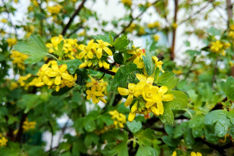 Tutsan hypericum herbal plant blossoming in a field in summer.  royalty free stock photo