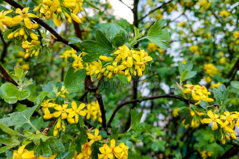 Tutsan hypericum herbal plant blossoming in a field in summer.  stock photo