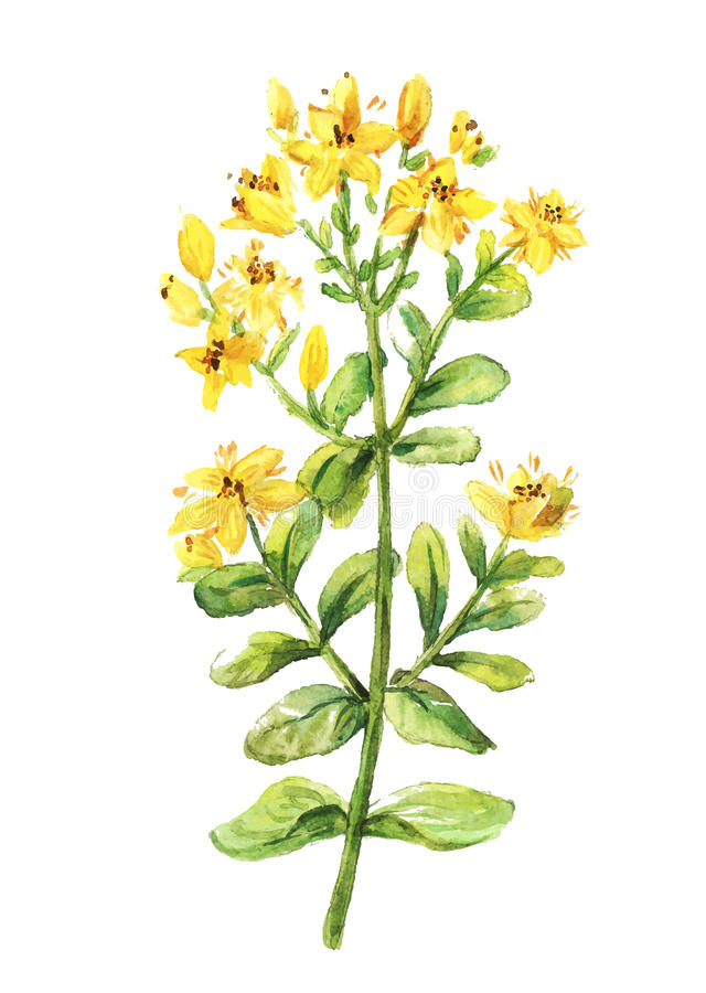 Tutsan watercolor drawing. St. John wort branch. stock photos