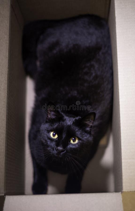 Tutto il gatto nero in scatola di cartone immagine stock