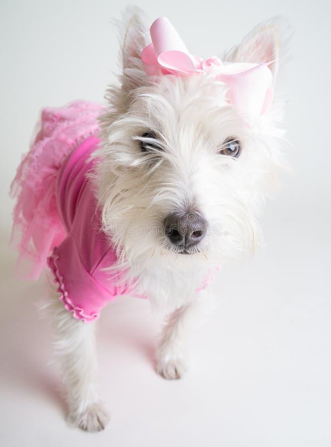 Tutu bianco di colore rosa del cane immagine stock