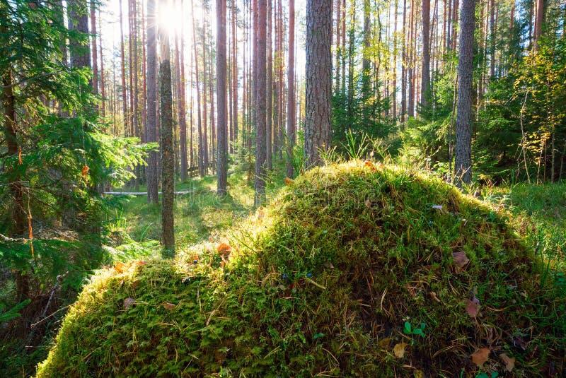 Tuva som täckas med mossa i en pinjeskog fotografering för bildbyråer