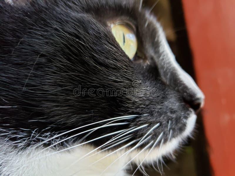 Tuxedo Cat stock images
