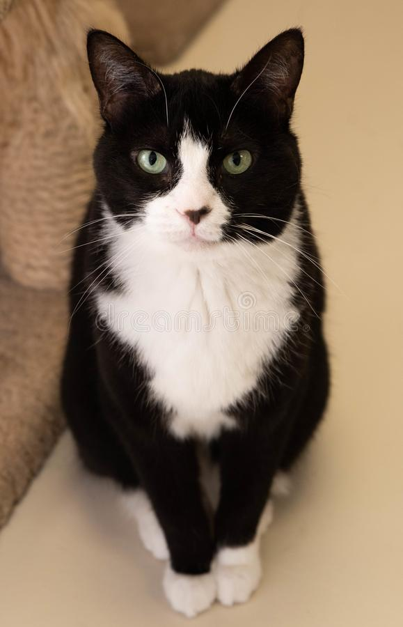 Tuxedo cat looking regal and pretty stock photo
