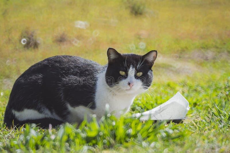 Tuxedo cat staring at you. Close up shot of Tuxedo cat staring at you, photo took at Los Angeles royalty free stock photos