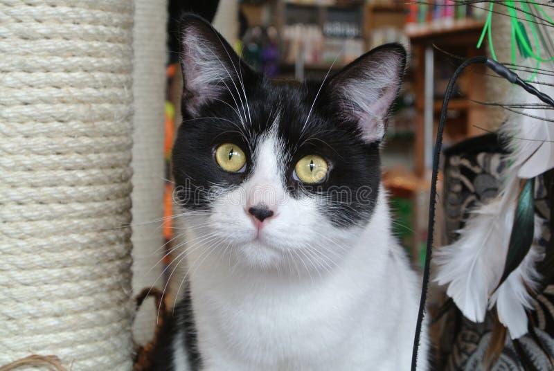 Tuxedo Kitten royalty free stock photos