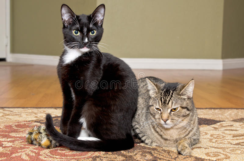 Tuxedo and tabby cats playing together. Tuxedo and tabby cats sitting on carper after playing together stock photography