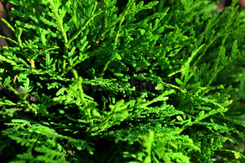 Tuya Danica , Belarus. Green Tuya Danica in the Garden, Belarus royalty free stock images