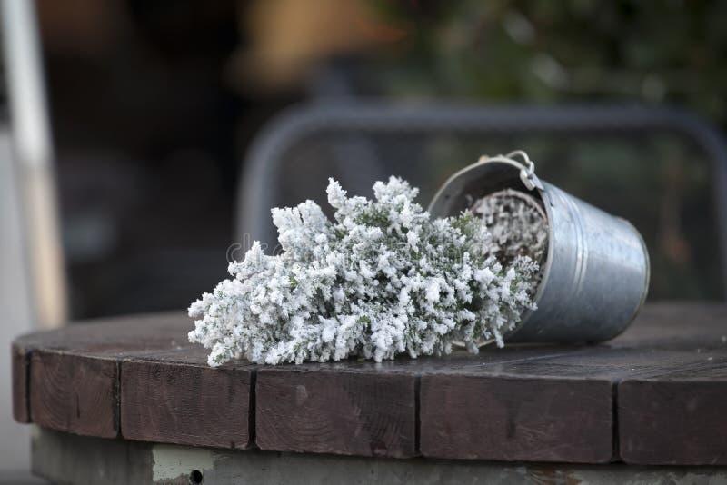 Tuya dans un pot dans la neige a tourné à l'envers sur une table en bois photos libres de droits