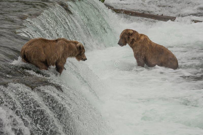 Tuziny grizzly niedźwiedzie zbierają przy strumyków spadkami podczas rocznego łososia bieg, Alaska zdjęcie royalty free
