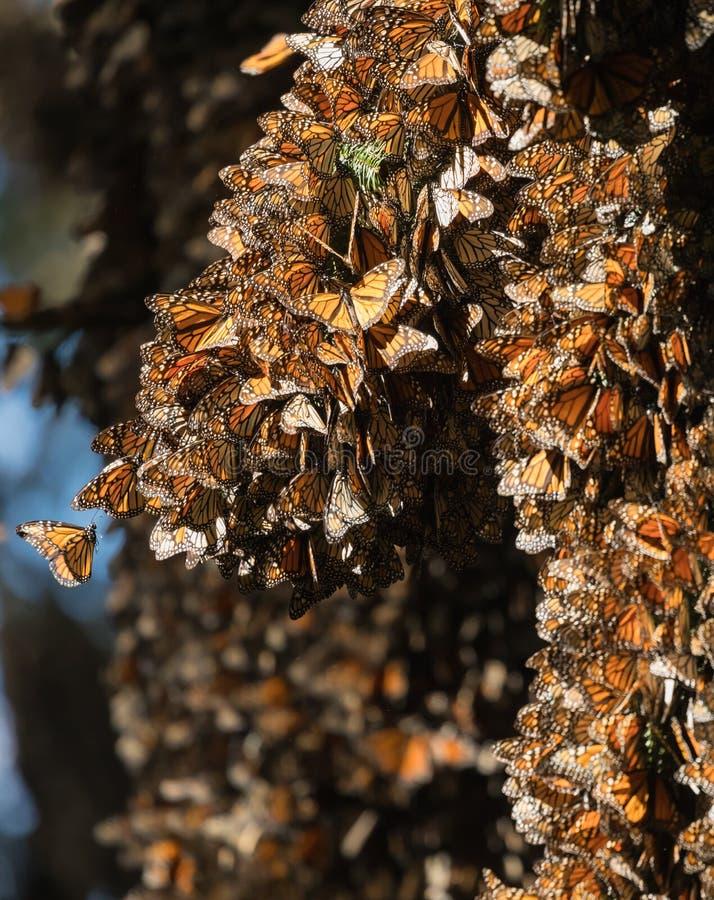 Tuziny monarchiczni motyle na Oyamel jedlinowym drzewie zdjęcia stock