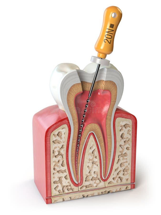 Tvärsnitt av den mänskliga tanden med den endodontic mappen som isoleras på vit vektor illustrationer
