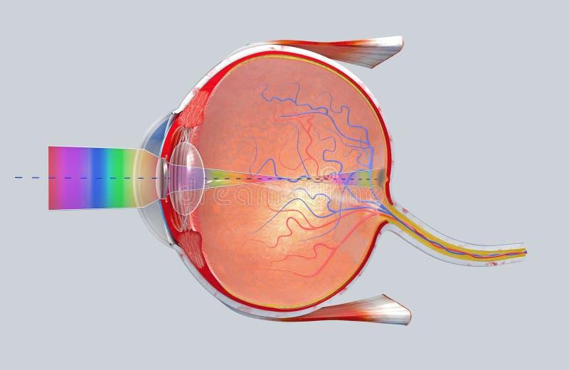 Tvärsnitt av det mänskliga ögat i en sidosikt royaltyfri illustrationer