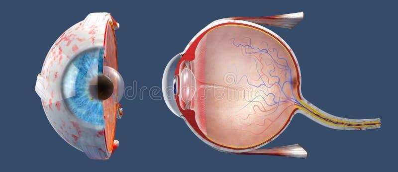 Tvärsnitt av det mänskliga ögat i en sidosikt och en frontal sikt royaltyfri bild