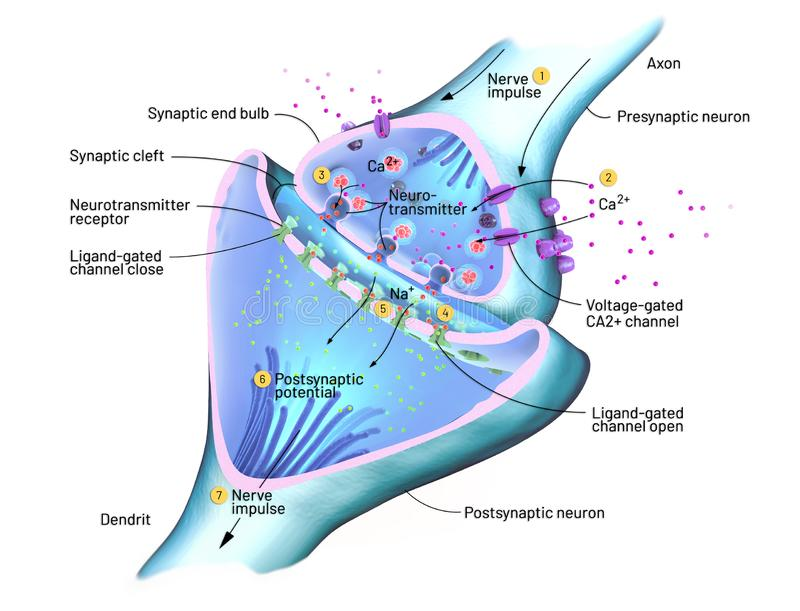 Tvärsnitt av en synapse eller en neuronal anslutning med en nervcell vektor illustrationer