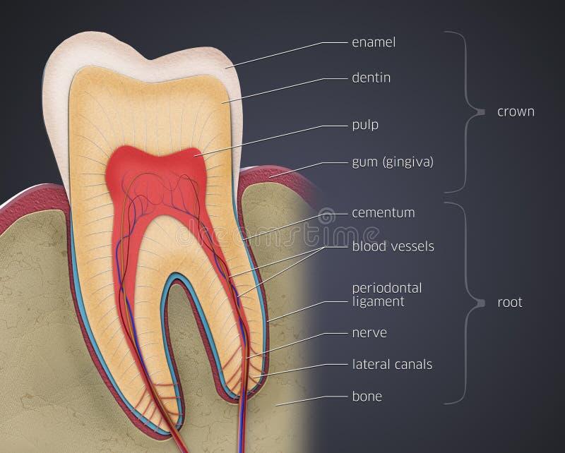 Tvärsnitt av en tand med beskrivningar vektor illustrationer