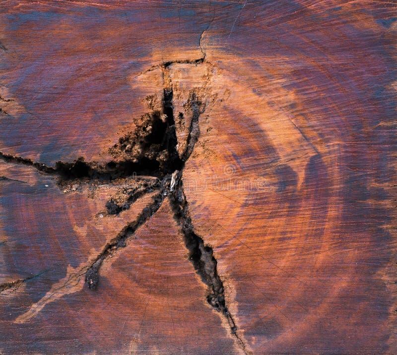Tvärsnitt av treestammen arkivbild