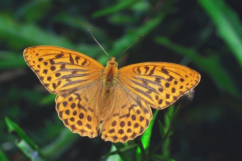 tvättad fjärilsfritillarysilver royaltyfria bilder