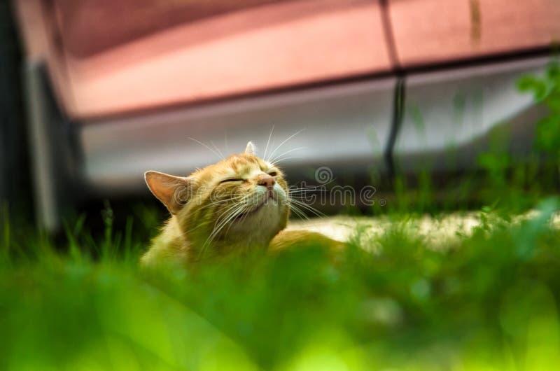Tvättar bygger den ljust rödbrun katten för gatan och roliga uttryck mot en röd bil royaltyfria foton