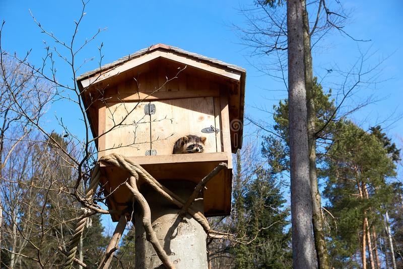 Tvättbjörn i hans trähus i Europa arkivbilder