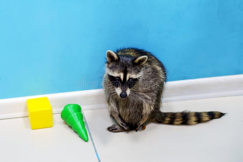 Tvättbjörn på zoo, gulligt och intressant som är rolig arkivfoton
