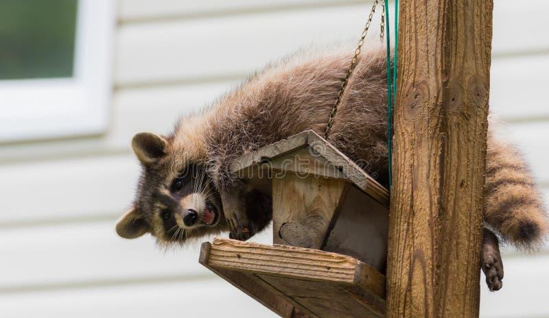 Tvättbjörn & x28; Procyonlotor& x29; på en fågelförlagematare östliga Ontario Det maskerade däggdjuret söker efter och finner ett royaltyfri fotografi