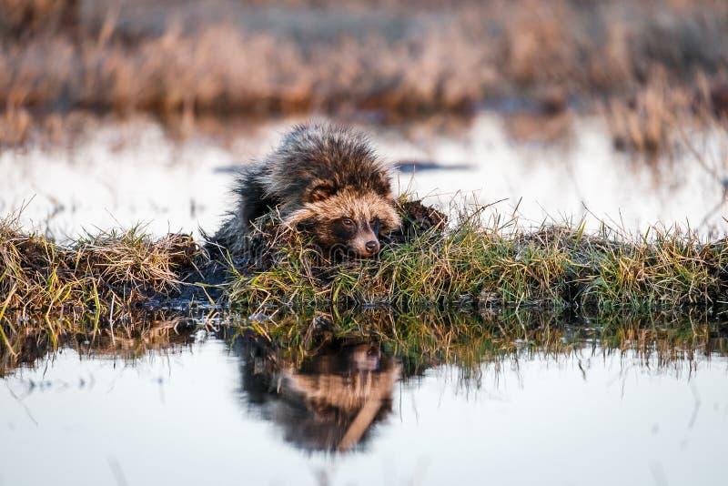 Tvättbjörnhund på en mindre kulle på ett träsk arkivbild