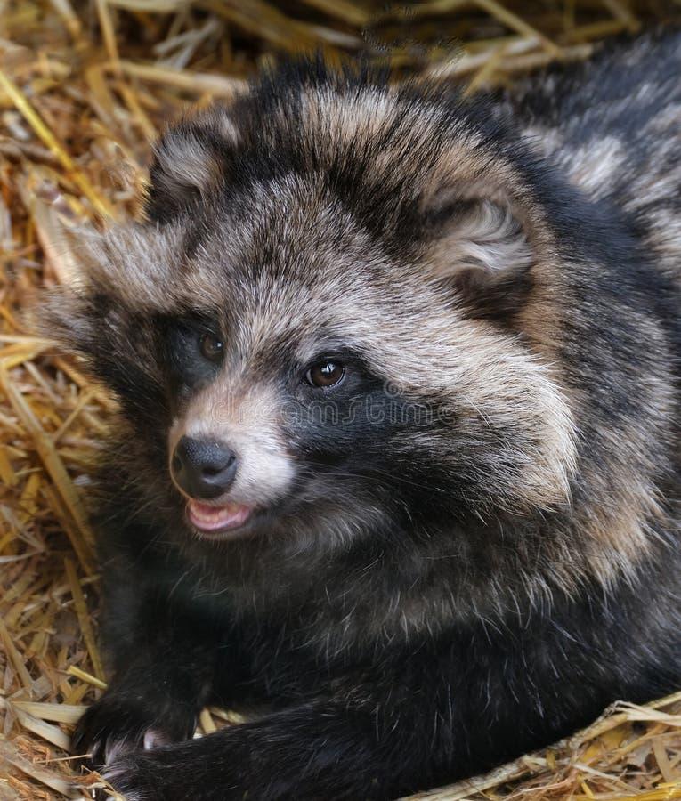 Tvättbjörnhund som vilar i hösäng i zoobur royaltyfria foton