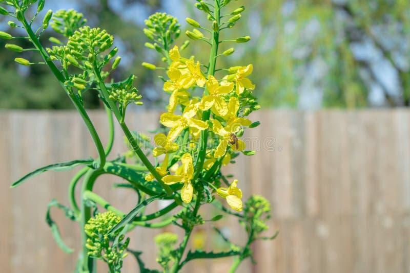 Tvåårig växt för grönkål som kasta i sig mig E gå att kärna ur på våren Bilden visar ett bi som pollinerar de gula grönkålblommor arkivfoton