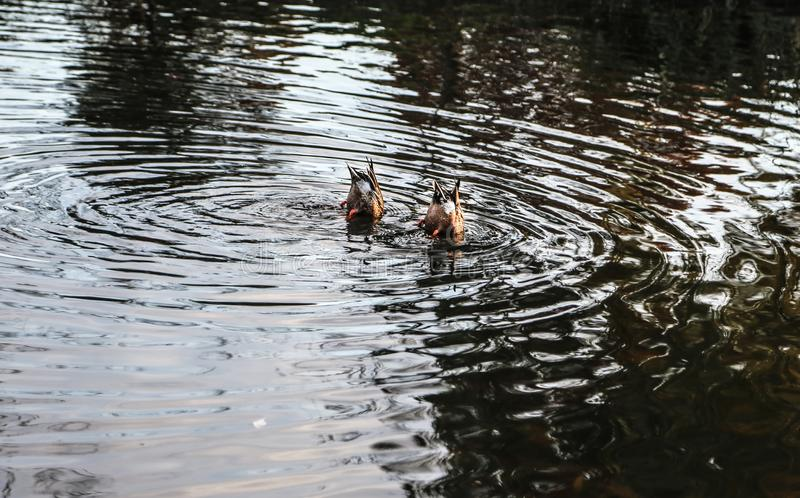 Två änder på vattnet royaltyfri bild