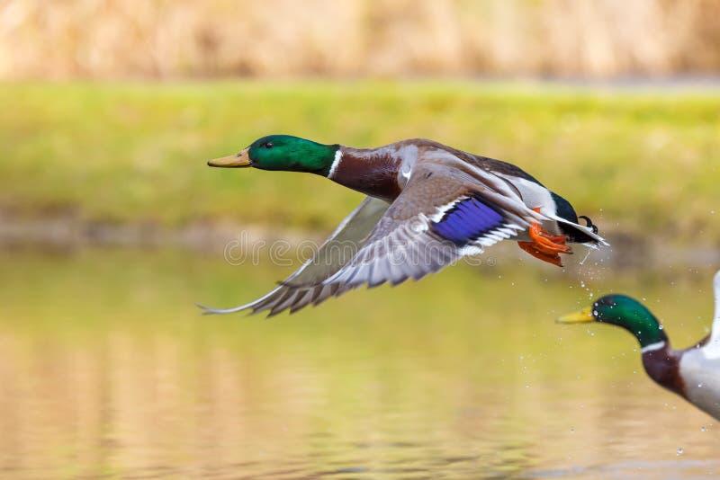 Två änder vinkar vingarna och flyger precis royaltyfri bild