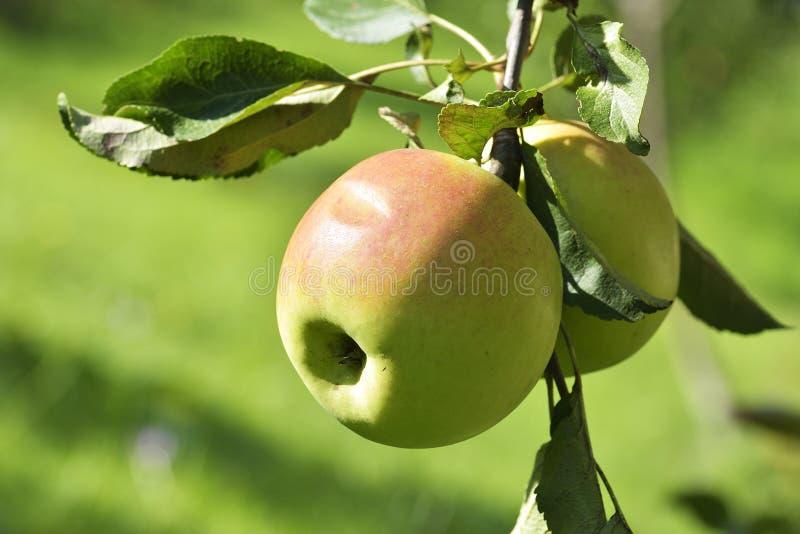 Två äpplen på äppleträdfilial royaltyfria bilder
