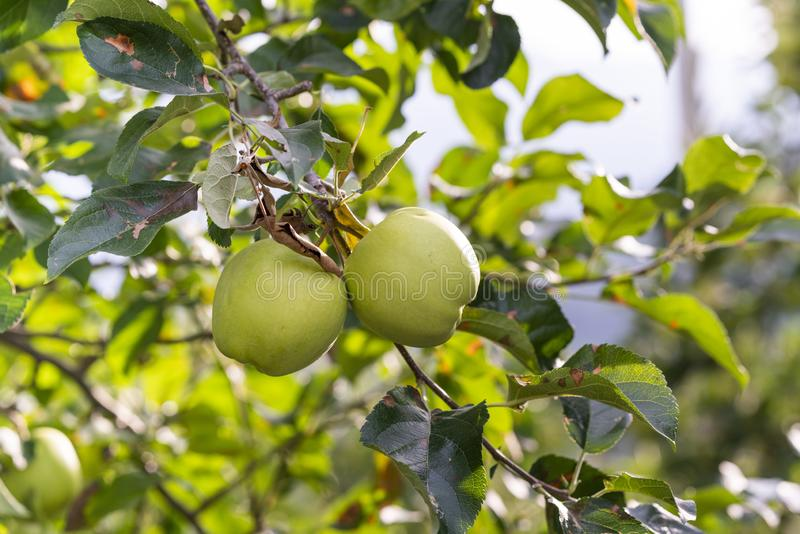 Två äpplen som hänger på ett Apple träd med oskarp bakgrund royaltyfria foton