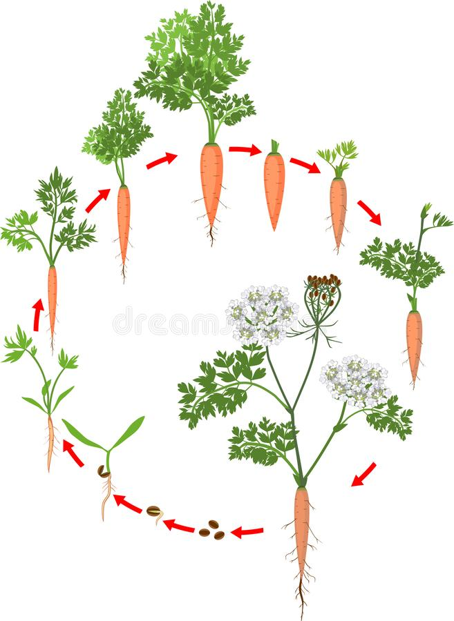 Två-året livcirkuleringen av morotutveckling från att plantera kärnar ur till den blomma växten Morottillv?xtetapper vektor illustrationer