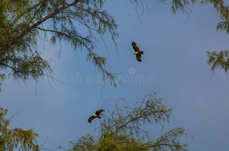 Två örnar i himmel bland träd`en s förgrena sig royaltyfri foto