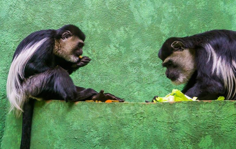 Två Abyssinian svartvita colobuses som tillsammans äter mat, tropiska primat från Afrika royaltyfri foto