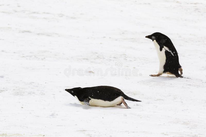 Två Adelie pingvin, en som går, en som glider på dess buk arkivbild