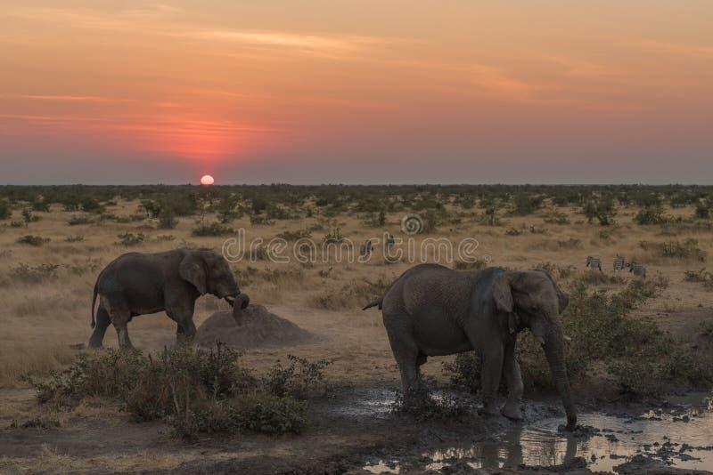 Två afrikanska elefanter och sebror i skymningen av solnedgången arkivfoton