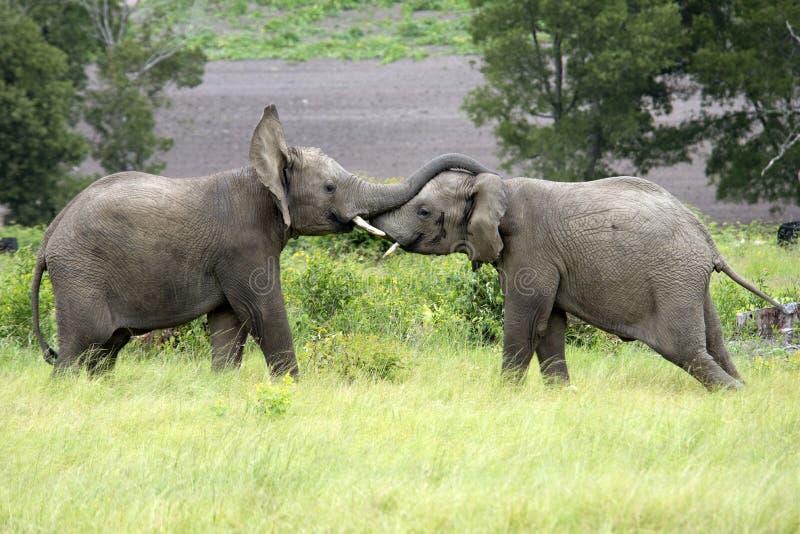 Två afrikanska elefanter slåss i ett huvud - - huvudet Sydafrika fotografering för bildbyråer