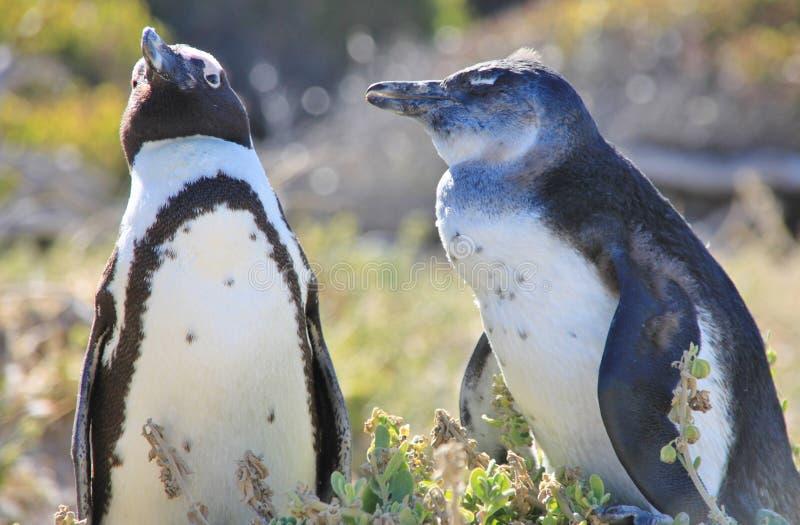 Två afrikanska pingvin blir bredvid de arkivbild
